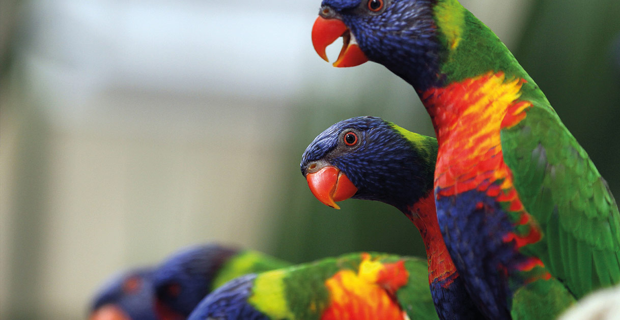 Rainbow Lorikeets at Colchester Zoo