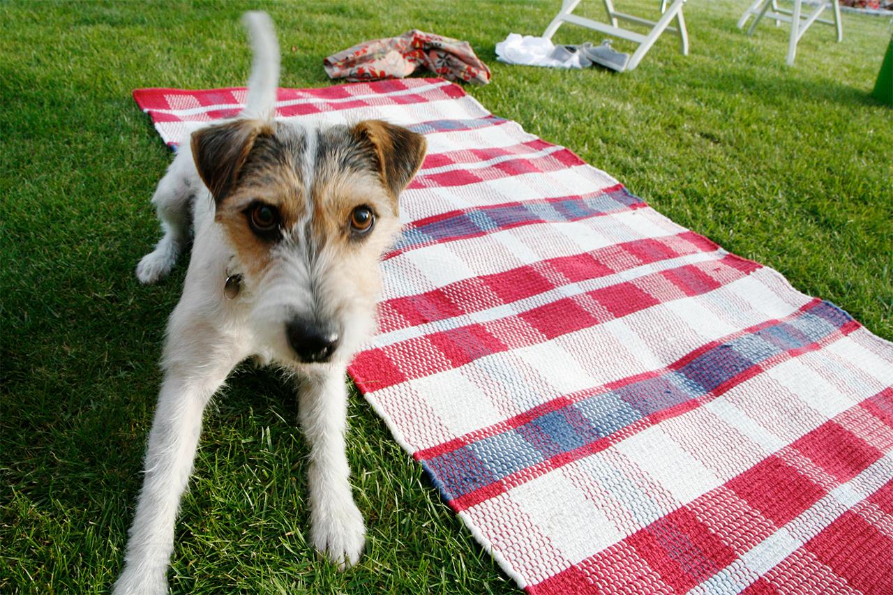 picnic dog