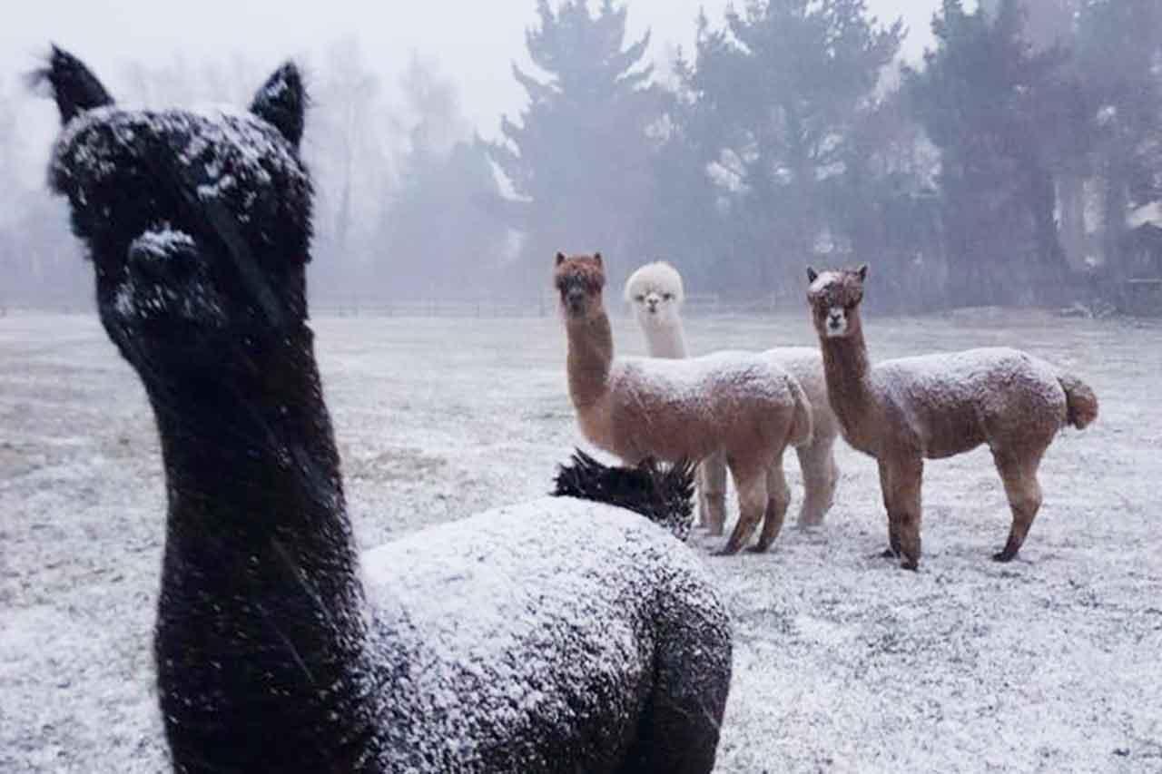Alpaca-snow